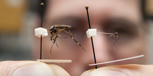 Huge aggressive mosquito could invade Florida